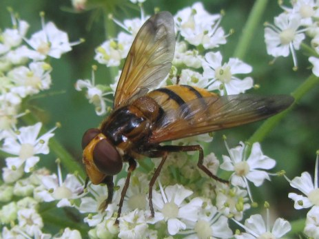 Volucella inanis (hoverfly)