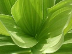 macro-of-corn-lily-i10026