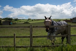Horse in purdah