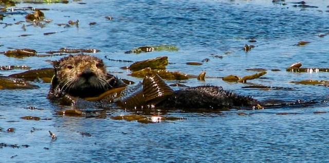 Sea Otter at Avila Beach