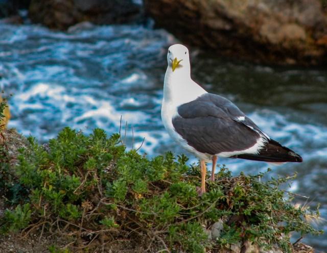 Seagull at Avila Beach