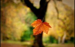 falling-leaf-single
