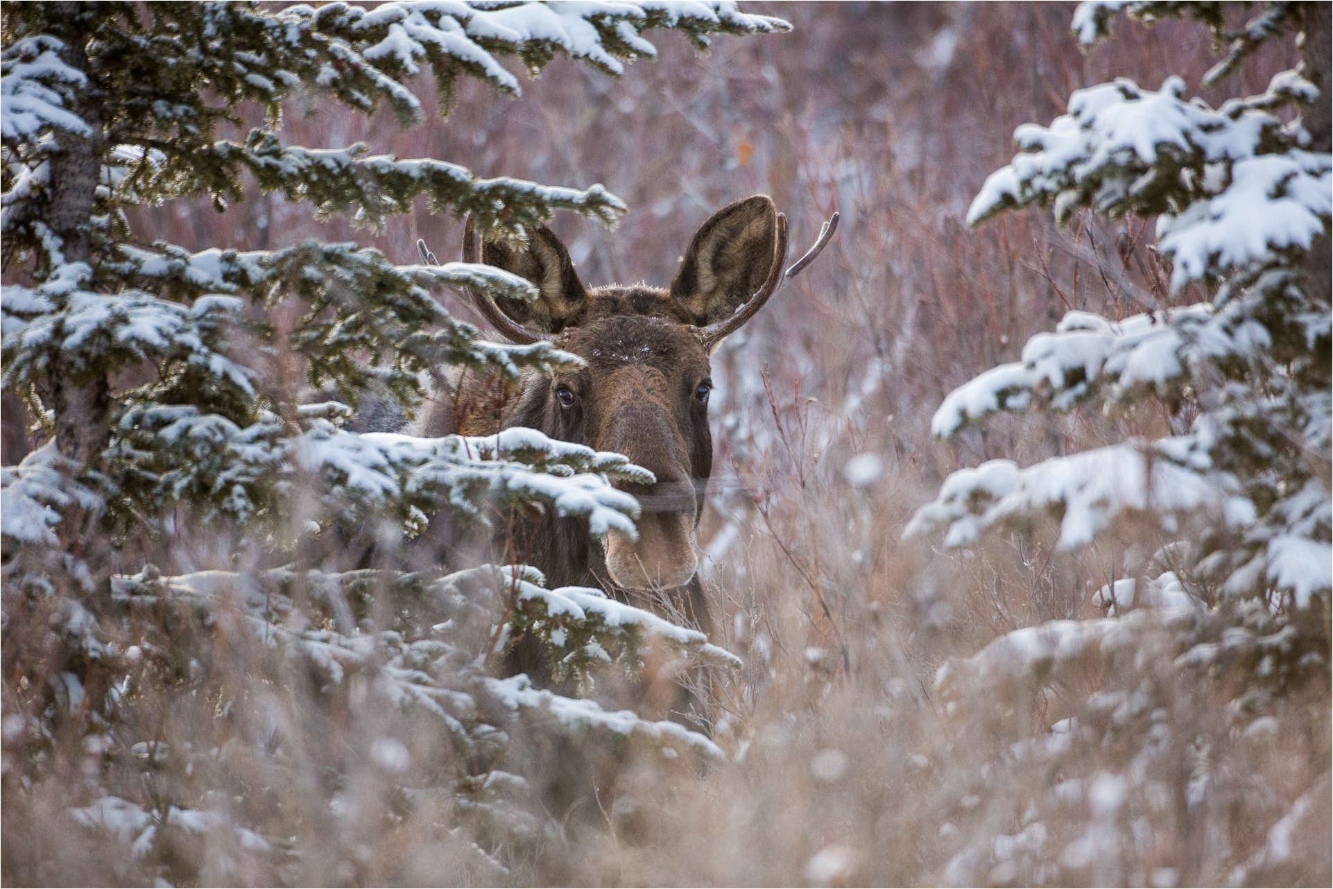 A Christmas Moose Christopher Martin Photography