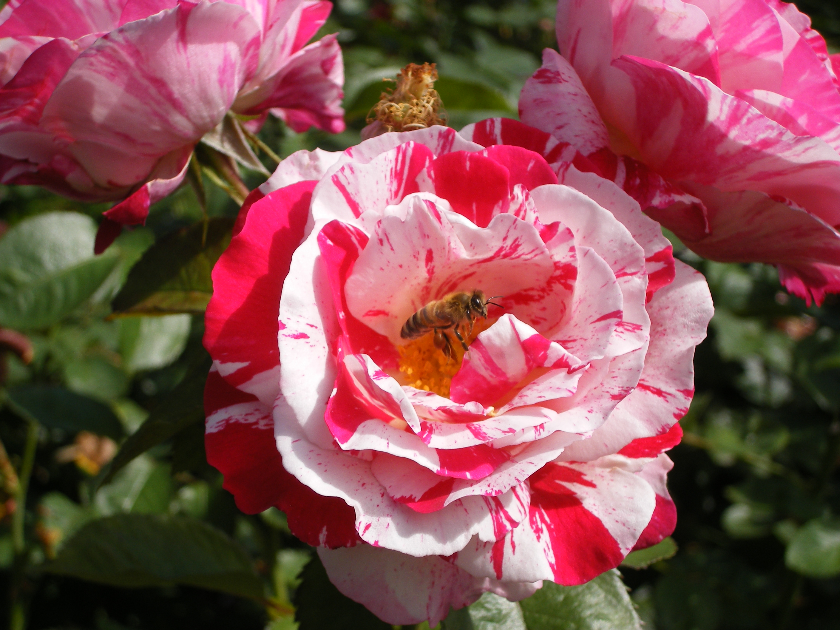 Bee - International Rose Test Garden (Portland, OR)