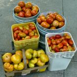 How many different varieties of tomatoes can one family eat?