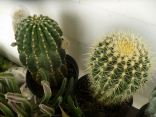 Cactus on the table