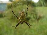 Garden spider in the asparagus patch