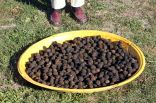 Enough black walnuts to keep us busy cracking this winter