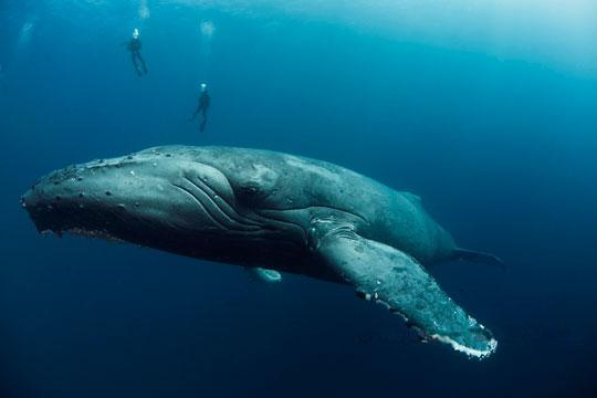 Humpback whale Sea of Cortez