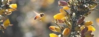 Gorse & bees.jpg