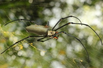 Nephila female and male (Townsville)