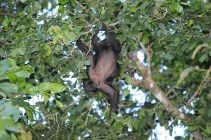 Howler monkey with bot-fly larva (Panama)
