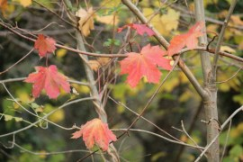 A few red autumn leaves on a sapling