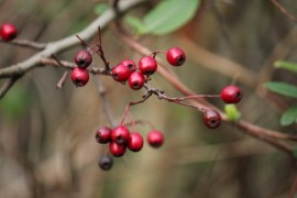 A few red berries on a slim, leafless twig