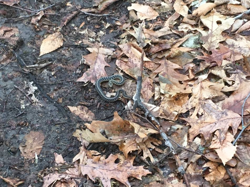 An aggressive little snake