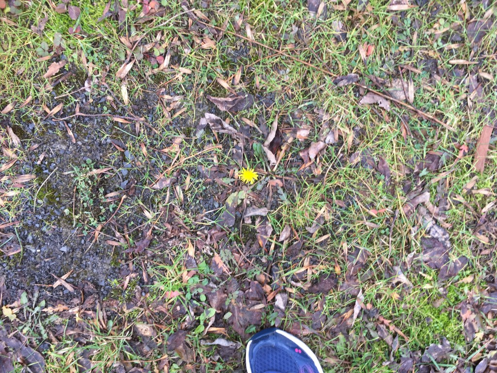 A dandelion in December