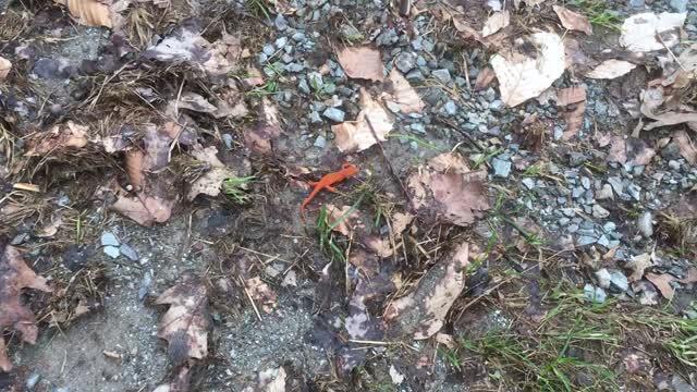 Little orange salamander