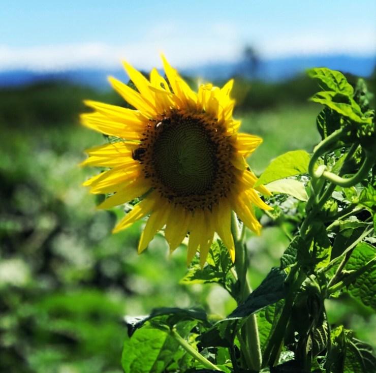 Sunflowers-Chrissie-Murphy-Designs-ChrissieMurphyDesigns