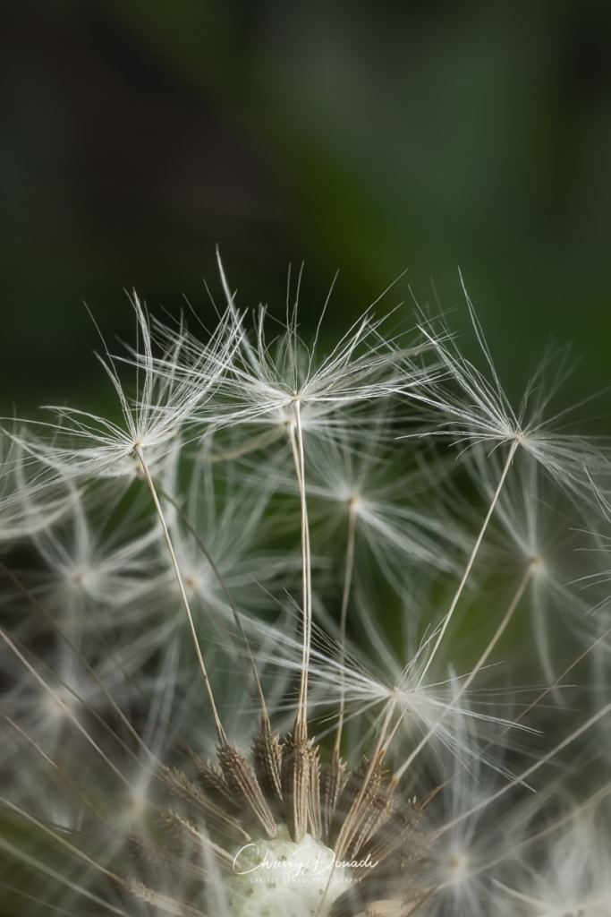 The intricate support of each Dandelion seed before it is blown away to make its way into the world