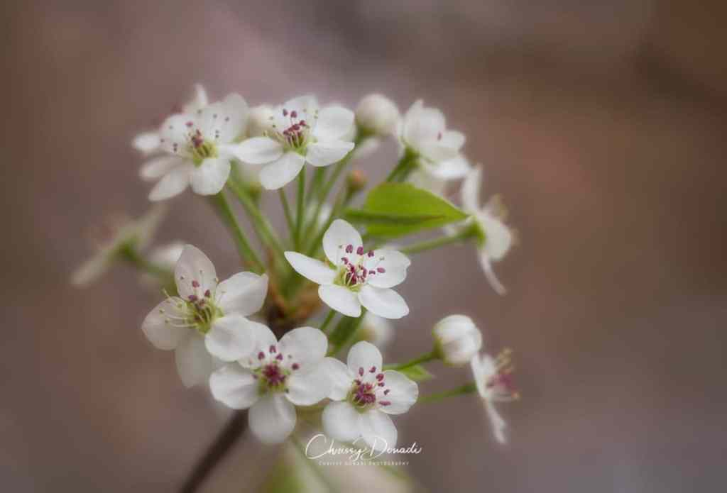 Macro nature photography of ensemble of Callery Pear Blossom in Spring