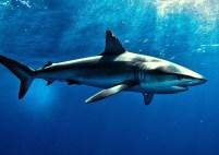 meet-the-sharks