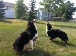Australian Shepherd Dogs Love Playing Ball (6)