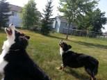 Australian Shepherd Dogs Love Playing Ball (7)