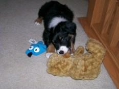 Winsten Aussie Black Tri Puppy (11)