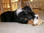 Winsten Aussie Black Tri Puppy (7)