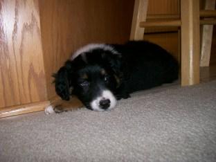 Winsten Australian Shepherd Puppy (12)