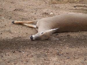 Deer lies dead in the dirt.