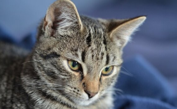 kattunge på en blå filt