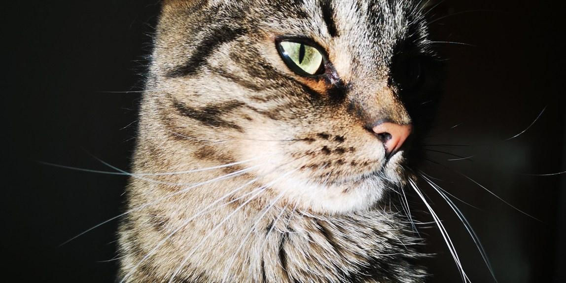 a tiger looking cat