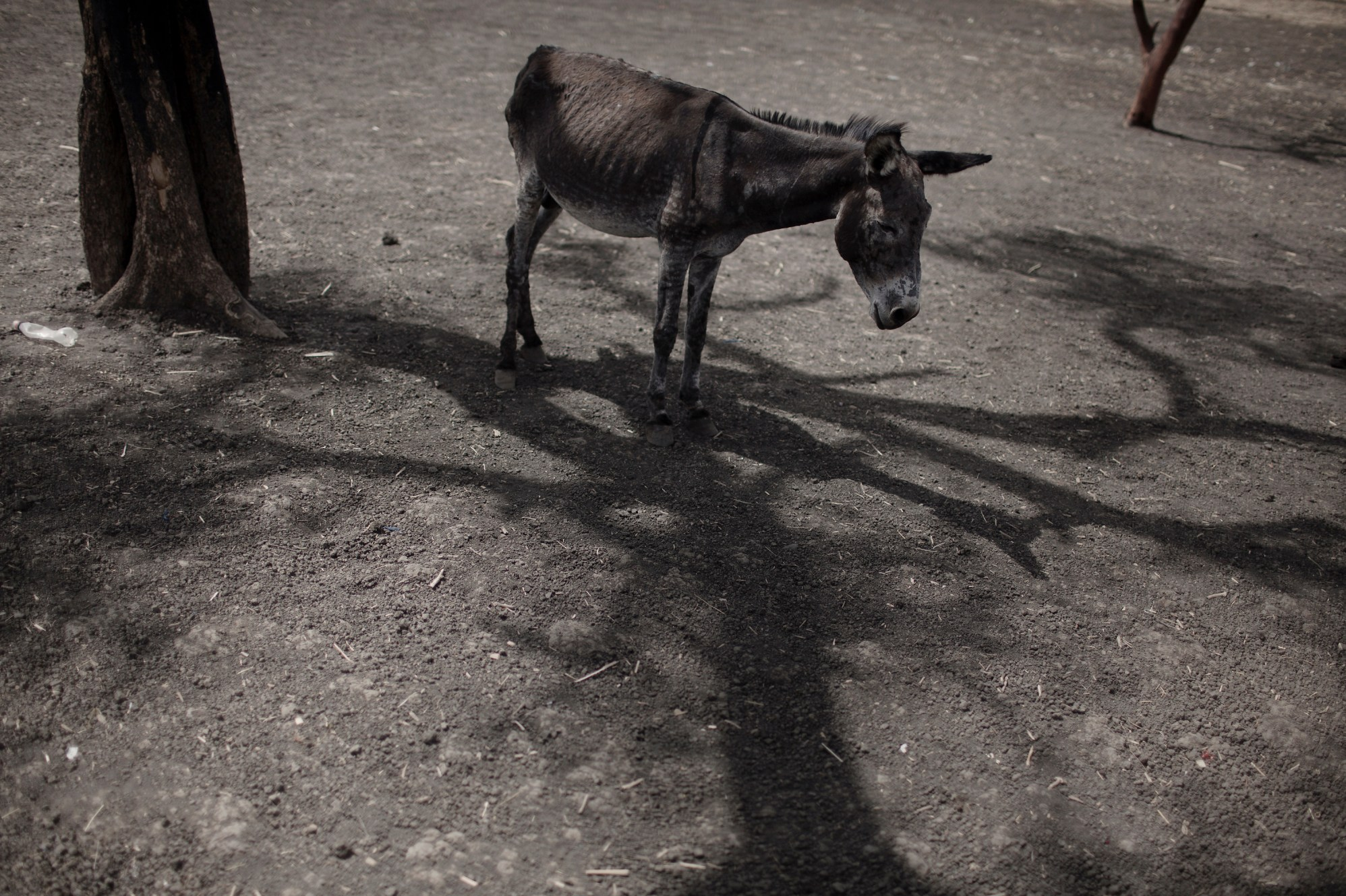 A malnourished donkey stands in the limited shade of one of the few trees in Jammam refugee camp.