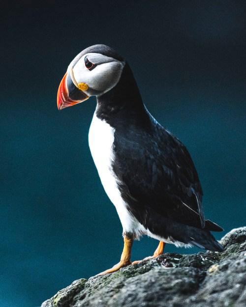 Puffin, Faroe Islands