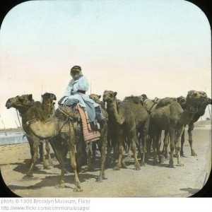 Camels in Egypt