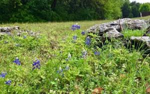 bluebonnets in Round Rock, Texas