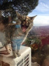 This cat kept trying to sneak in our window to get our food! The cat and I were havbing a roar off...