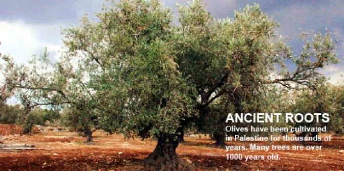 Olive Tree_01