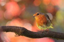 bird-robin