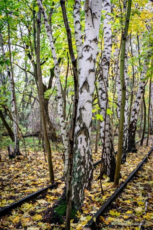 Birch trees at Gleisdreieck