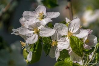 Blütenweisse Apfelblumen
