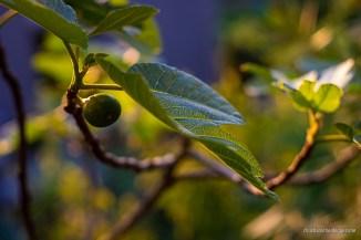 kleine Feigenfrucht