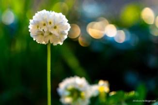 weisses Blumenbokeh