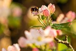 Hummel besucht Apfelblüte