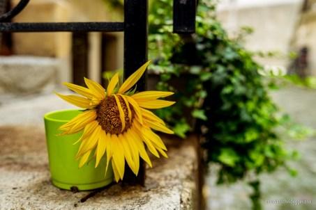 Sonnenblume in der Altstadt