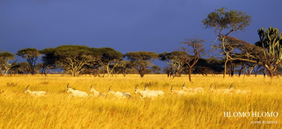 White Blesbok