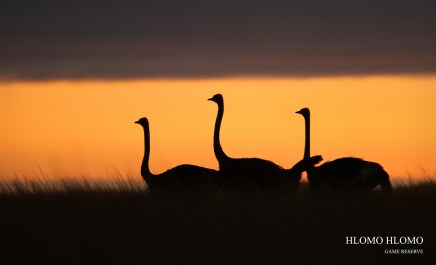 Ostriches at Sunrise