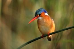 Malachite Kingfisher (C) Christian Sperka Photography