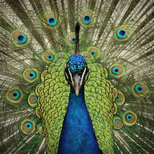 Peacock @ Zurich Zoo